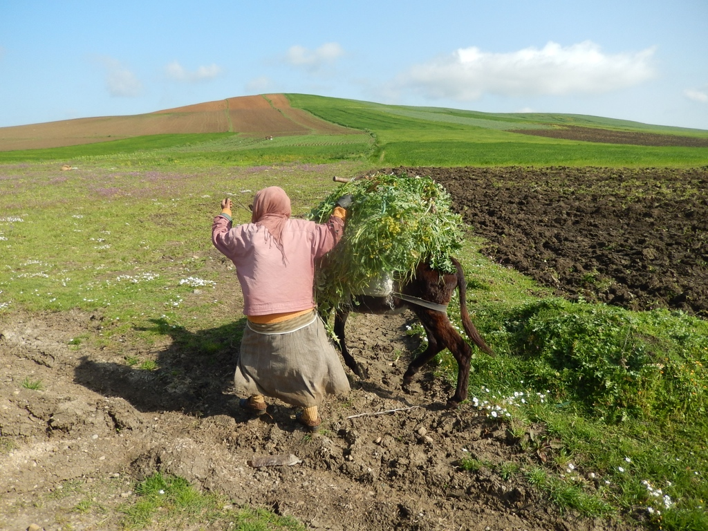 Forage is precious and hard to find. (Tunisia)