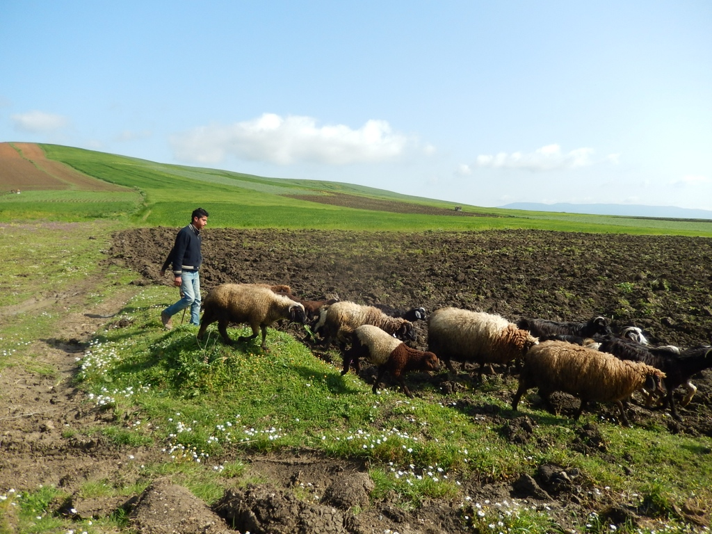 Shepperds have to keep their animals on the edges of the fields. (Tunisia)