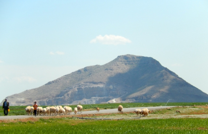 Livestock is the key element in southern Mediterranen agricultural landscapes. (Algeria)