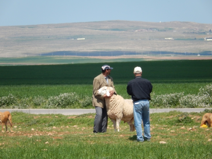 Livestock is the insurance in agricultural systems where monoculture wheat (background) poses high risks. (Algeria)