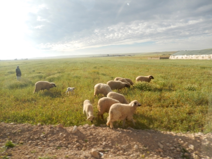 Weedy follows are major source of nutrition for livestock. (Morocco)