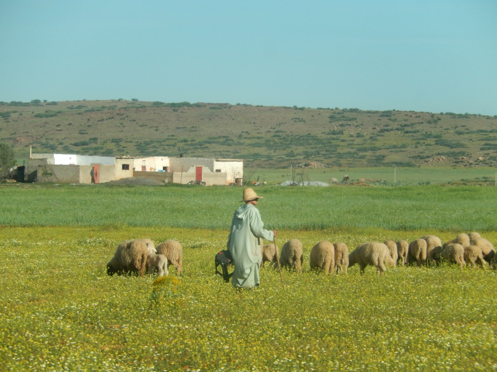 Weedy fallows (foreground) are major source of nutrition for livestock. (Morocco)