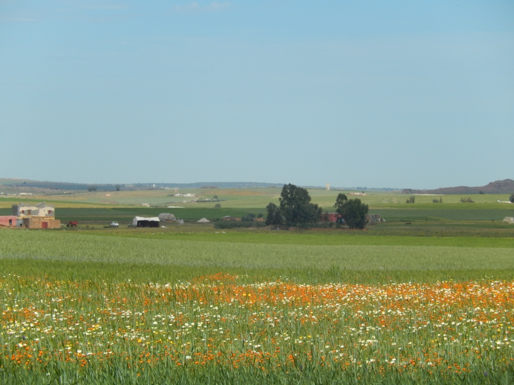 Weedy fallows (foreground) provide habitat for biodiversity. (Morocco)