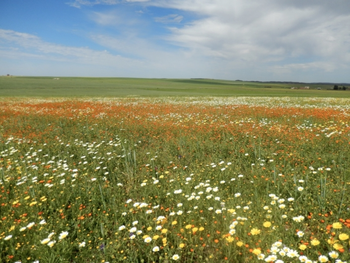 Weedy fallows help to maintain the floral diversity. (Morocco)