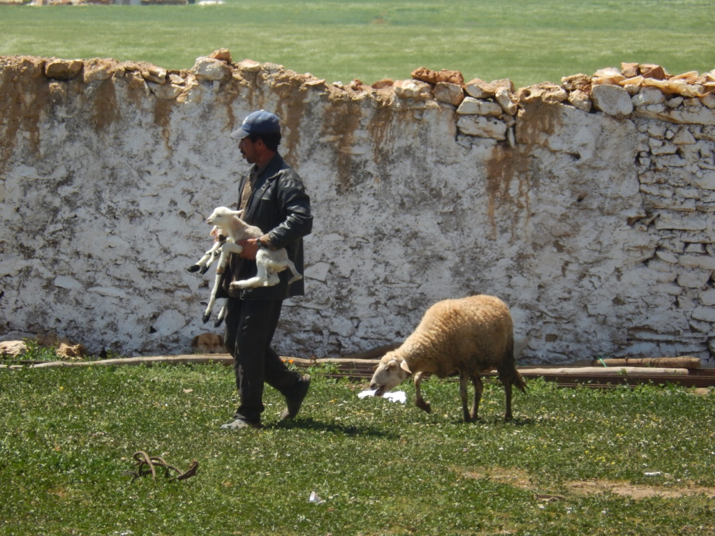 Livestock is the insurance in southern Mediterranen agricultural systems. (Morocco)