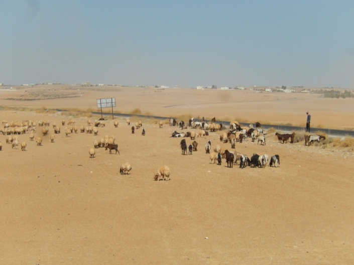 Livestock is almost consuming soil in the absence of crop stubbles. (Jordan)