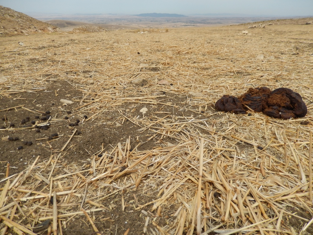 Nutrient cycling in grazed CA fields is important for crop productivity. (Tunisia)