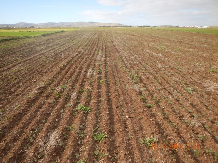 Little stubble left by livestock is further burried by high disturbance CA seeders. Suboptimal conditions for CA. (Tunisia)