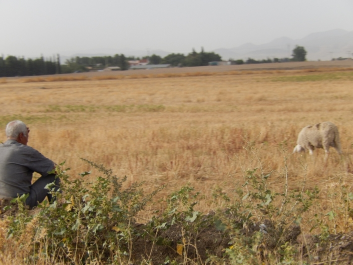 Shepperds have to keep their animals on the edges of the fields. (Algeria)