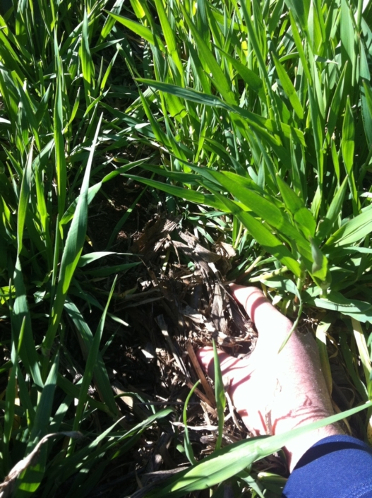 A very good example of CA wheat field with lots of stubble protecting the soil. (Spain)