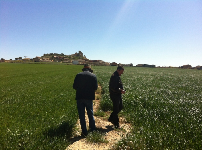 Well managed CA wheat fields (Spain)