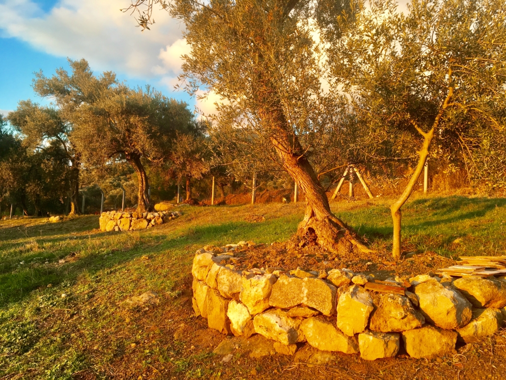 Olive orchard with CA management - no-tillage (Turkey)