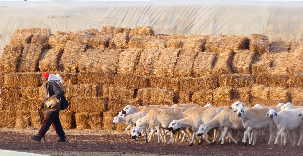 Cereal stubbles are major source of livestock feed (Morocco)